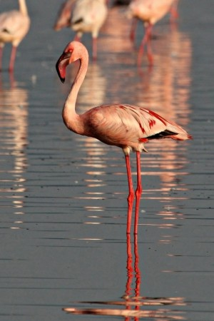 flamingo, foto: Hepta