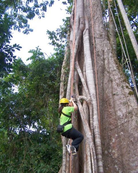 Urcuș pe un arbore de Sequoia in jungla amazoniană