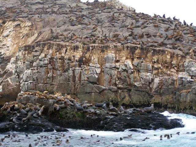 dacă pleci din portul Callao la o oră în largul Atlanticului ai parte de mirarea de a înota împreună cu focile din Insulele Palomino; trăind într-o rezervație marină strict supravegheată în care nu au parte de prezența invazivă a omului, nu au nici o problemă să se apropie și să înoate alături de ființele ciudate în costume negre (scafandri?)… Se apropiau curioase și jucăușe, întinzând mustățile mirositoare a pește!