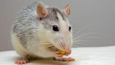 Oameni și șoareci sau fiecare țară cu animalele ei