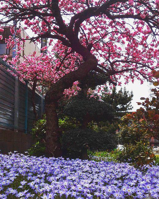 Experiența japoneză, sakura