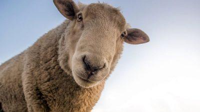 Dictatura oilor (fabulă)