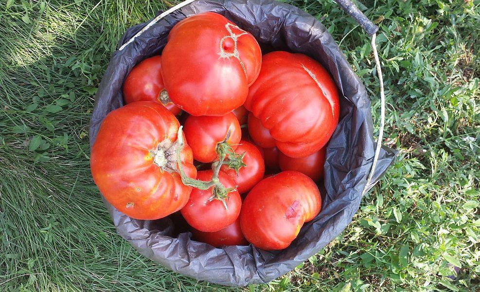 legumele cultivate în solar versus legume din grădină
