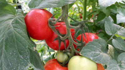 Toate legumele pentru vânzare sunt stropite și tratate
