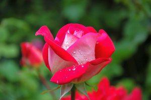 ce inseamna trandafirul in limba florilor
