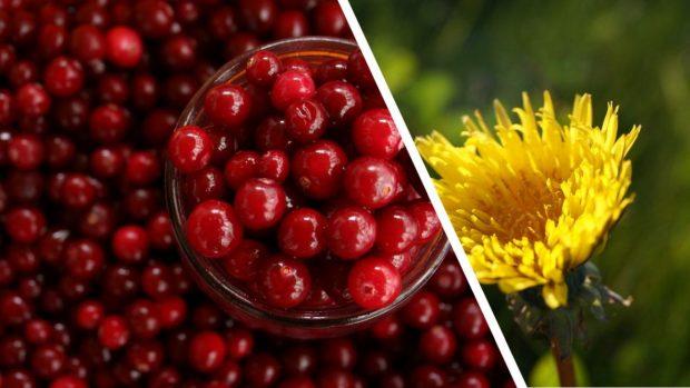 merişorul şi păpădia, 2 plante cu efecte miraculoase